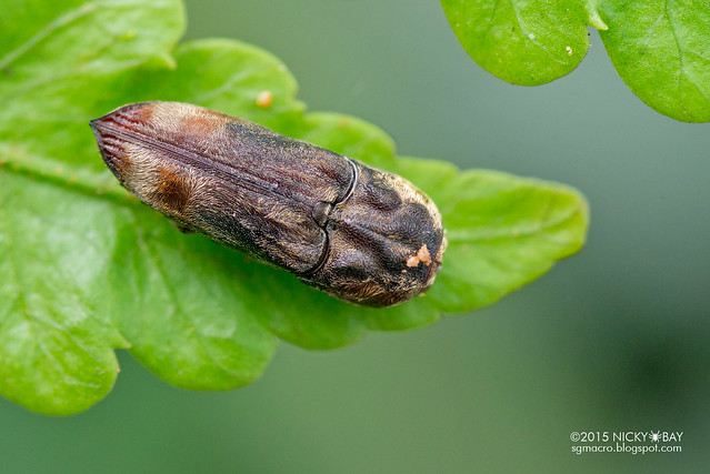 False click beetle (Eucnemidae) - DSC_3160