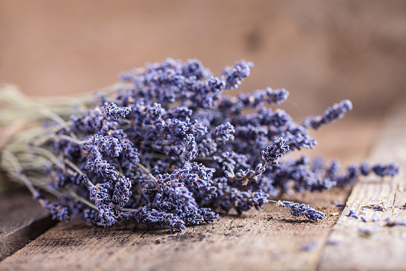 Salt Spring Lavender Festival is held at Sacred Mountain Lavender farm in mid July. Salt Spring Island BC.