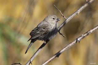 """House Finch"" ""Carpodacus mexicanus"""