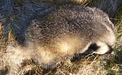 Badger found dead on verge