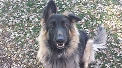 german shepherd dog(0.0), dog breed(1.0), animal(1.0), dog(1.0), pet(1.0), tervuren(1.0), belgian shepherd(1.0), bohemian shepherd(1.0), rough collie(1.0), collie(1.0), shiloh shepherd dog(1.0), carnivoran(1.0),