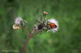 Ladybird Fidelma Read--2