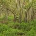 Conocarpus erectus forest, Everglades National Park, Monroe County, Florida 1 by Alan Cressler