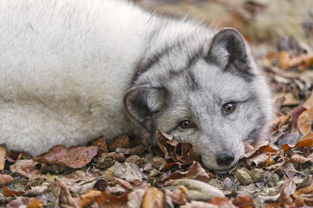 Lying polar fox