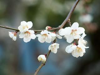 梅 [Ume] Japanese Apricot_2287702