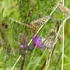 Dark Green Fritillary - face on