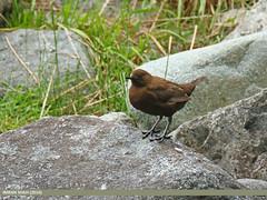 Brown Dipper (Cinclus pallasii)