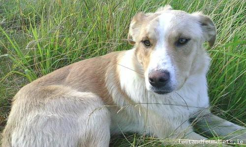 Mon, Aug 8th, 2016 Found Male Dog - allymore area, Ballymore, Westmeath