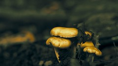 delicious chanterelle in nature