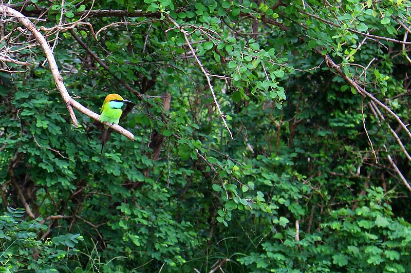 Little bird - Yala National Park