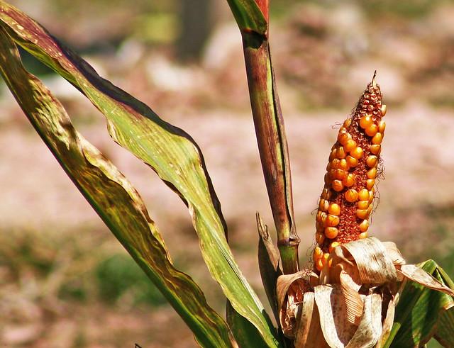 corn 20d_