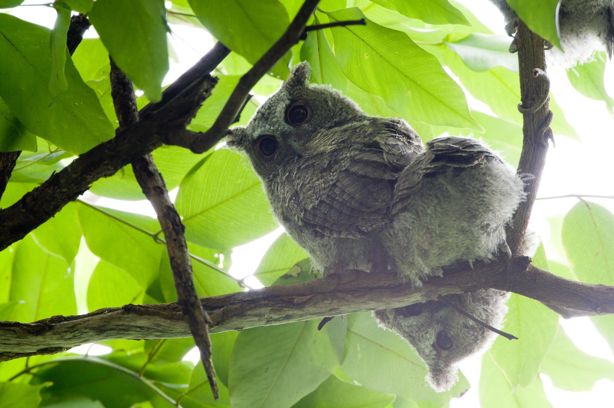 領角鴞寶寶