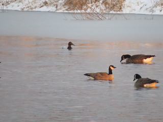 Canvasback + Cackling Goose - Longwood Abbondi Property - 6 January 2015