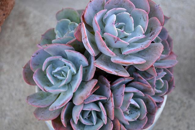 succulent(4)