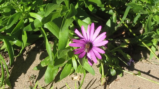 MVI_8316 honeybee on african daisy goleta