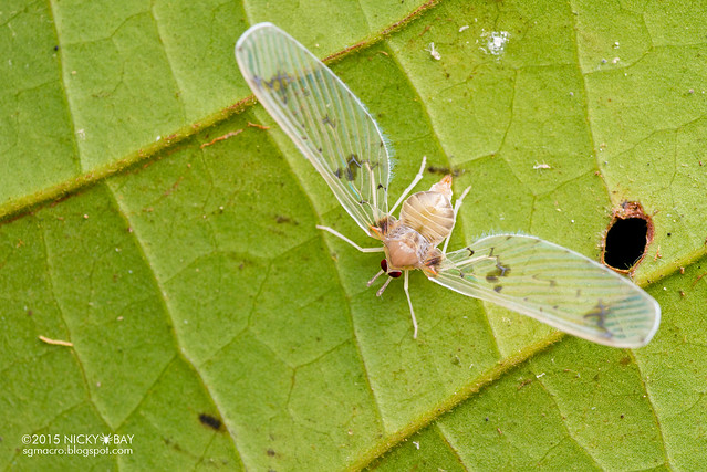 Derbid planthopper (Derbidae) - DSC_3529
