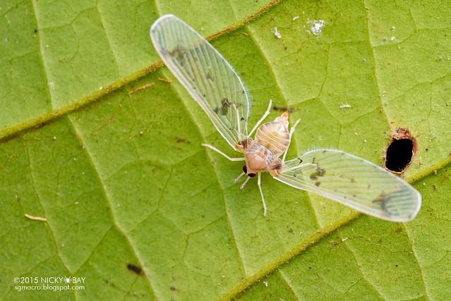 Derbid planthopper (Derbidae) - DSC_3529
