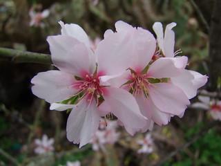 Blossom, February, Olhão