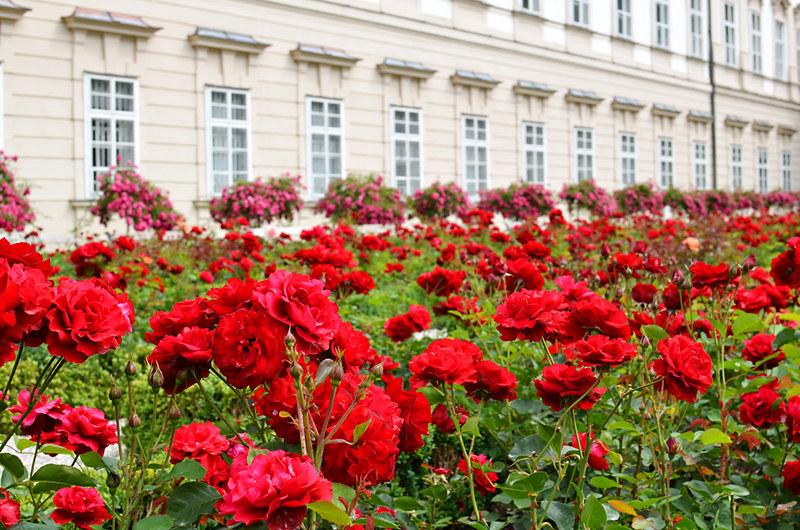Ocean of roses, Mirabell Gardens, Salzburg, Austria