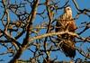 A Rough-Legged Hawk