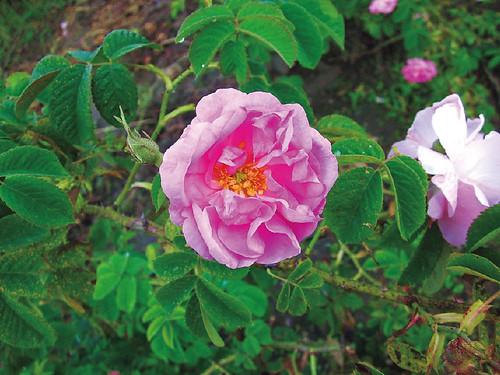 esoil01_rose