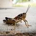 Grasshopper by Cynthia E. Wood