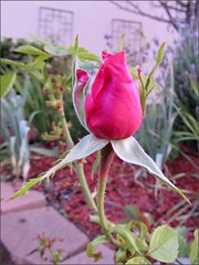 Pink rosebud at sunrise