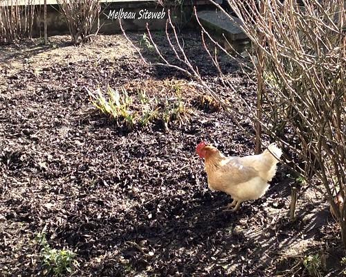 Poule, chien au jardin