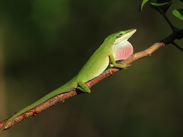 Green Anole displaying 20150302