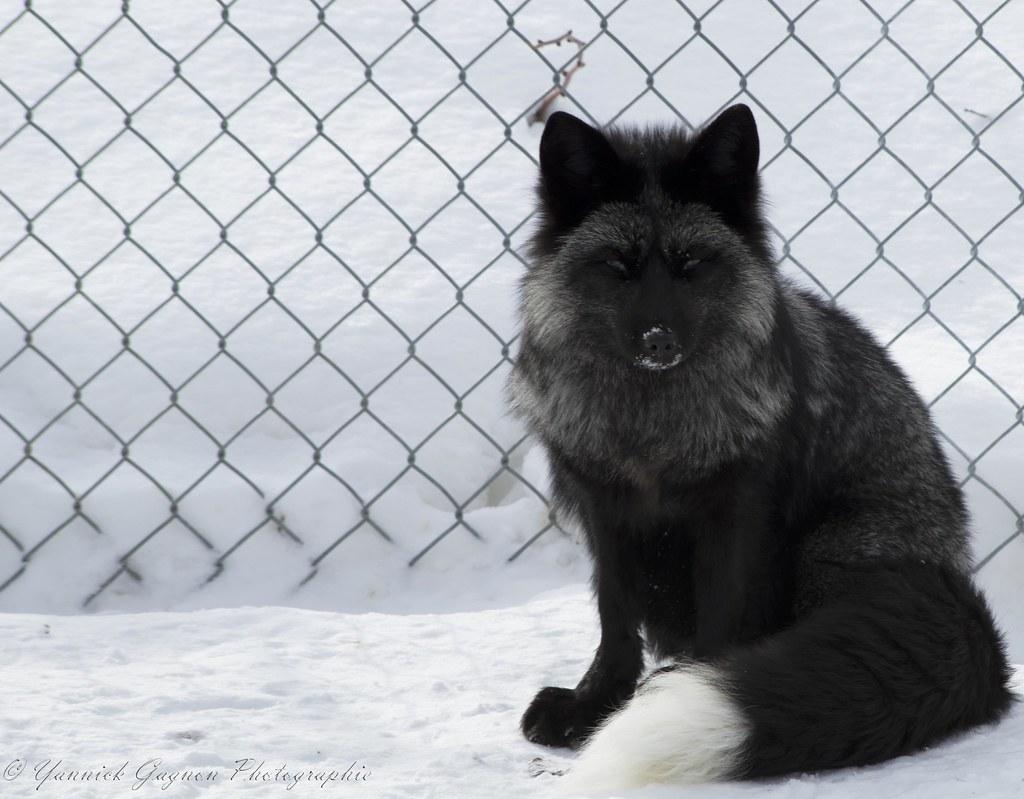 Loup argenté