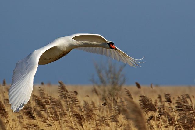 Mute Swan 7Dmk2L2473