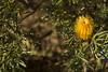 Banksia spinulosa 'Carnarvon Gold'