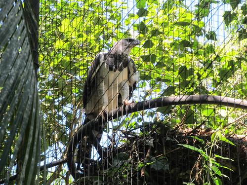Le Parc des Oiseaux d'Iguaçu: un aigle royal mâle
