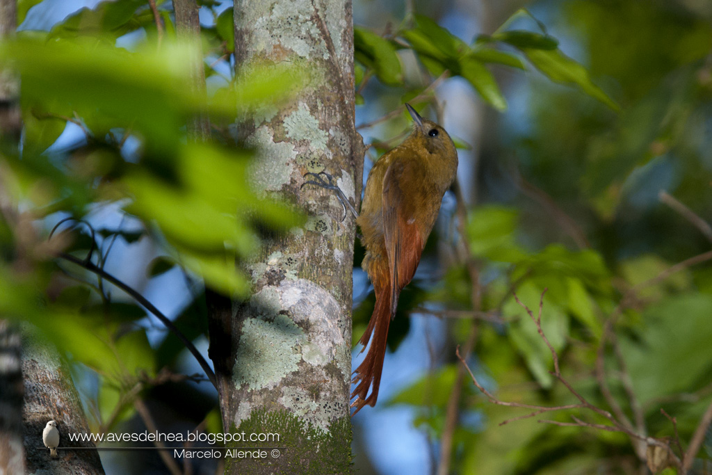 Tarefero (Olivaceous Woodcreeper) Sittasomus griseicapillus