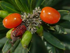 Spurge Flax (Daphne gnidium) fruits