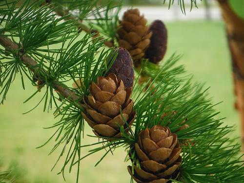 1. PineCones in Fairbanks Alaska