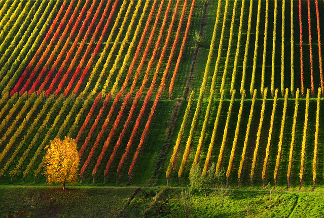 Autumn Lines in the Vineyard
