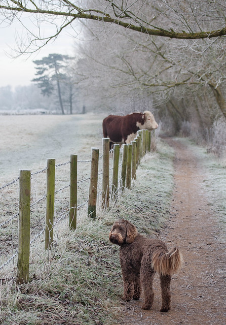 Ewok and the cow