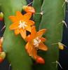 Acanthorhipsalis monacantha, (syn. Lepismium monacanthum, Rhipsalis monacantha)