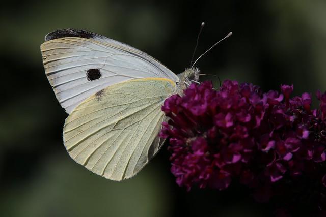 Hugo von Schreck - Schmetterling