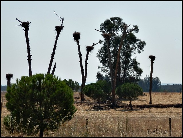 TREES (STORK NESTS AT THE TOP OF THE NAKED TREES)