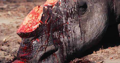 南非遭盜獵的白犀牛。(來源:WWF / Martin HARVEY)