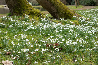 Painshill snowdrops_2
