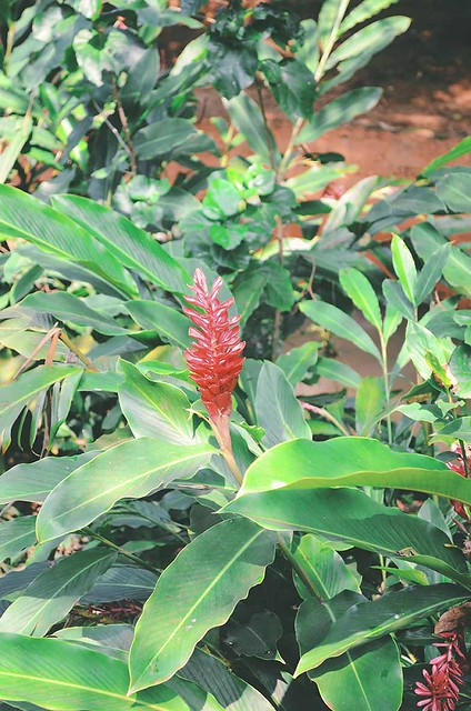 Goa - Ginger bloom | A Brown Table