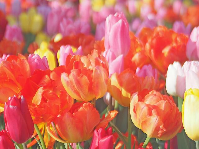 Tulips, チューリップ