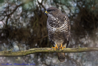 Common Buzzard,