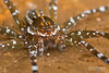 Fishing spider (Dolomedes sp.) - DSC_2231b