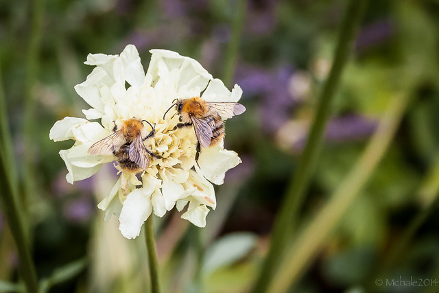 Brown-banded Carder Bee (Bombus Humilis)