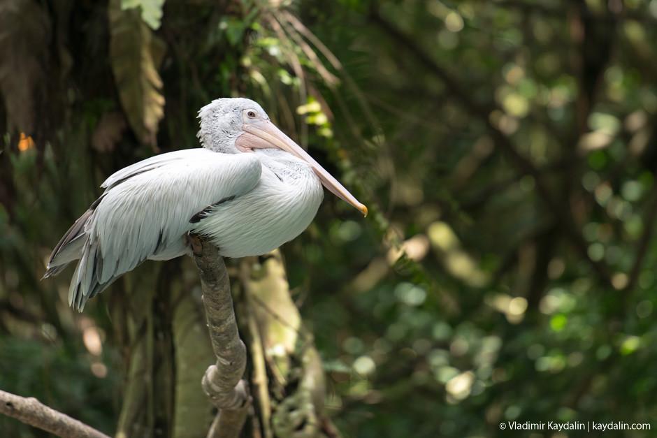 Пиликан, зоопарк Сингапура