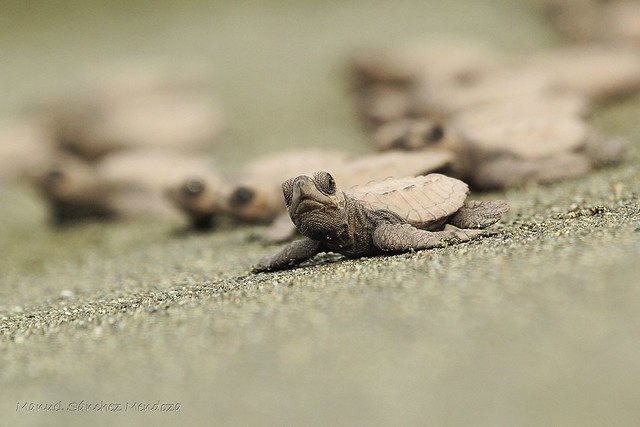 The Sea Turtles head to the ocean in Costa Rica